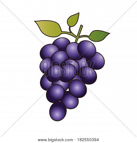 colorful silhouette of bunch of grapes and delineated vector illustration