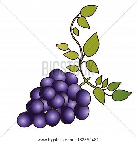 colorful silhouette of bunch of grapes with branch and leaves and delineated vector illustration