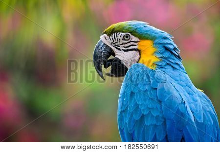 Blue-and-Yellow Macaw parrots, also known as the Blue-and-Gold Macaw