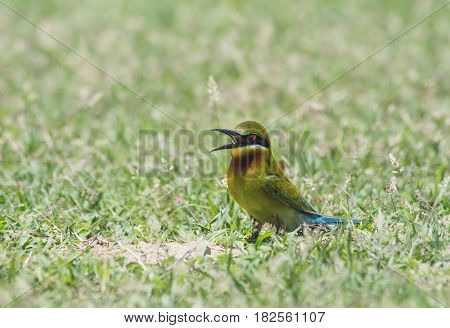 Blue-tailed bee-eater ( Merops philippinus) on the ground