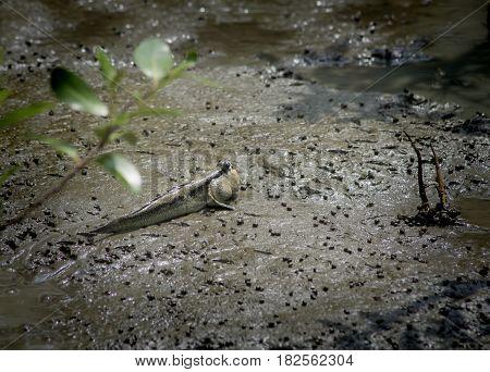 mudskipper or amphibious fish in mangrove forest