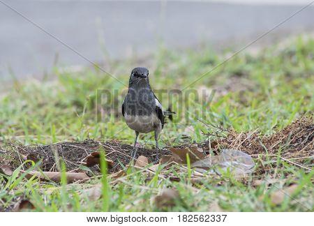 Oriental magpie robin bird can met in every park in Thailand