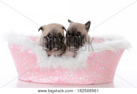 french bulldog littermates in a dog bed on white background