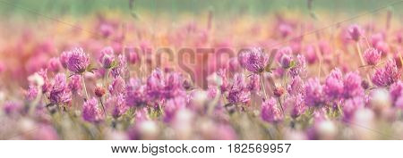 Flowering clover, beautiful red clover in meadow beautiful nature in spring