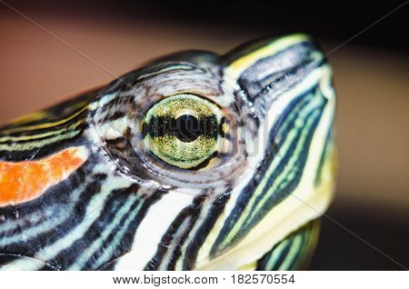 Turtle eye macro close-up. Head pond slider. Trachemys scripta