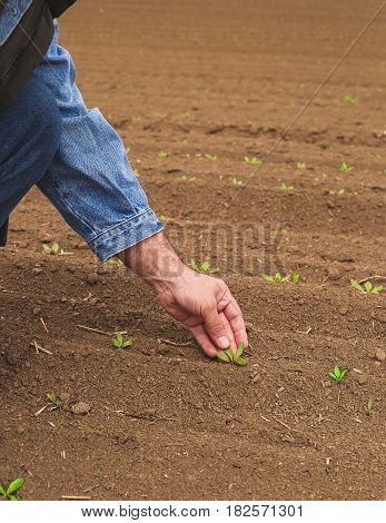 Farmer examining crop seedling in early spring field