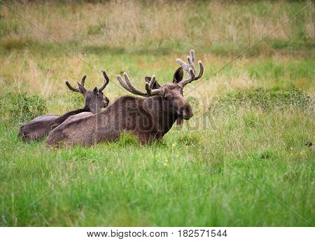 Two brown elks lying on green grass at summertime meadow.