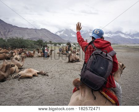 Camels At Nubra Valley In Ladakh, India