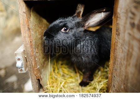 Big black rabbit in a cage. Big black rabbit in a cage. Sits on a underlay from hay.