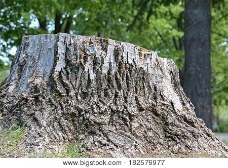 Closeup of a cut stump with rough bark