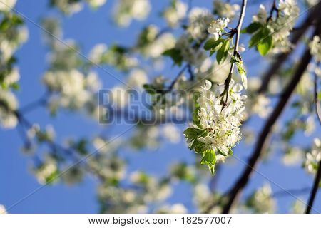 White Spring Blooming Trees