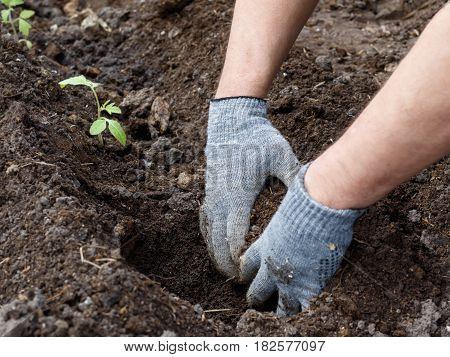 hands with gray gloves making a hole for planting in garden early morning