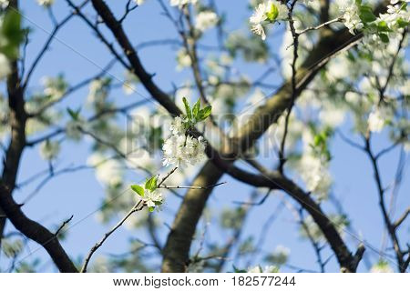 Fresh white flowers blooming on tree branches in spring close up.