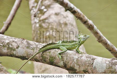 Emerald basilisk lizard on a branch. Tortuguero National Park, Costa Rica, Caribbean side, Central America