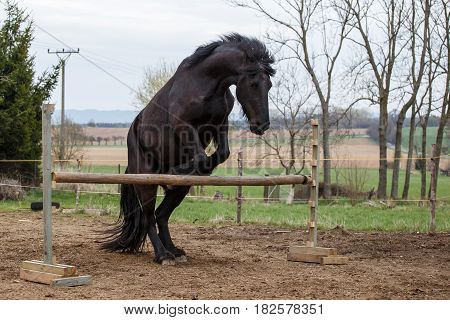 Photo of jumping friesian horse. Equine sport.