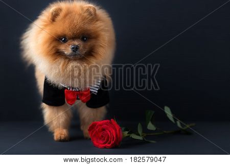 Pomeranian dog in a suit with a red rose on dark background. Portrait of a dog in a low key