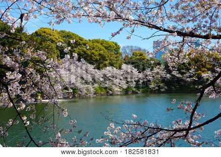 Cherry tree branches with white flower blossoms frame a spring scene at the Chidorigafuchi Moat in Tokyo, Japan