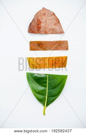 Leaves Of Different Age Of Jack Fruit Tree On White Wooden Background. Ageing  And Seasonal Concept
