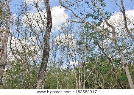 Green forest in Chichen Itza, Yucatan, Mexico
