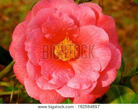 Camellia, Bright Pink, Springtime Beauty, Grows on Bush.