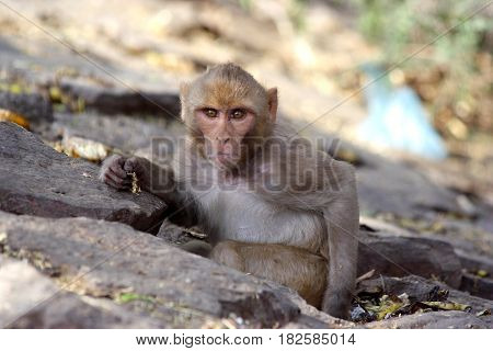 Monkey sitting in green bushes, looking directly into the lens, India