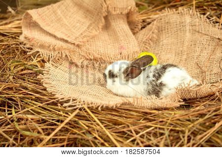 Cute rabbit small easter bunny domestic pet with long ears and fluffy fur coat lying with green apple on sackcloth on natural hay background