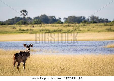 Male Kudu In Front Of Water.