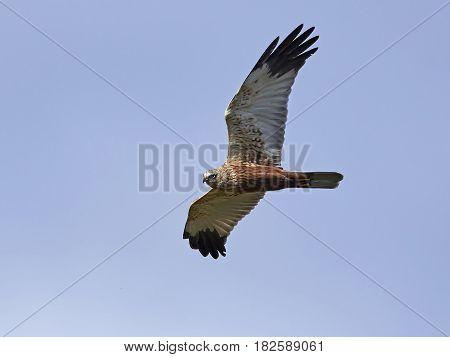 Western marsh harrier in flight with blue skies in the background