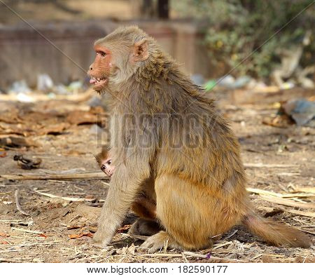 monkey female with baby is angry and shows teeth, India.