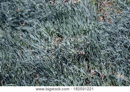 Decorative grass. Blue, ornamental grass is perfect for Alpine design. She is an ornament to any landscape.
