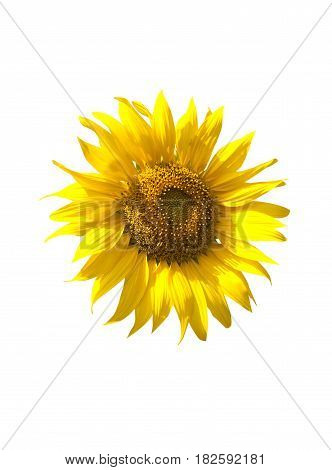 Sunflower blooming isolate on white background,fresh concept