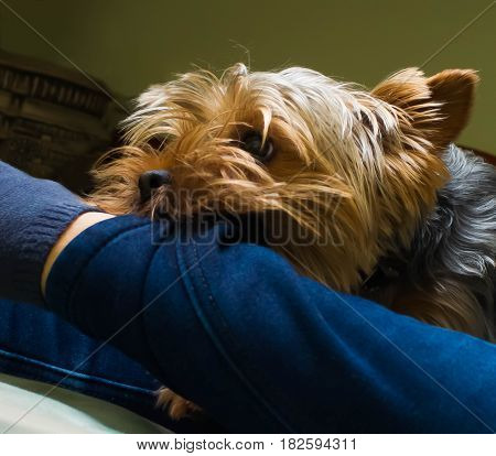 Beautiful Yorkshire terrier playing pet friendly playing dog garden yorkie doggy
