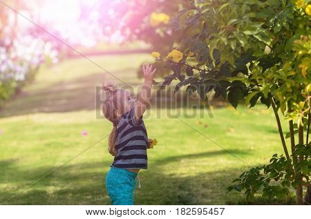 childhood and nature. cute baby boy small child with long blond hair in blue clothes picking yellow blossoming flowers from bushes on green grass in summer park on sunny natural background. vacation
