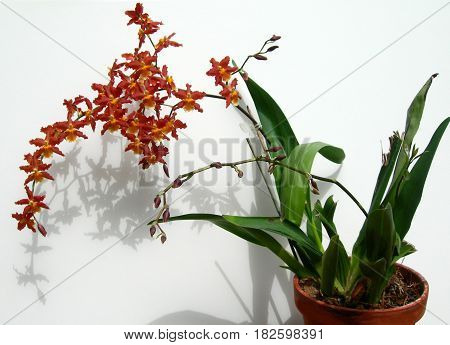 Cluster Of Marsala Red Orchids In A Pot