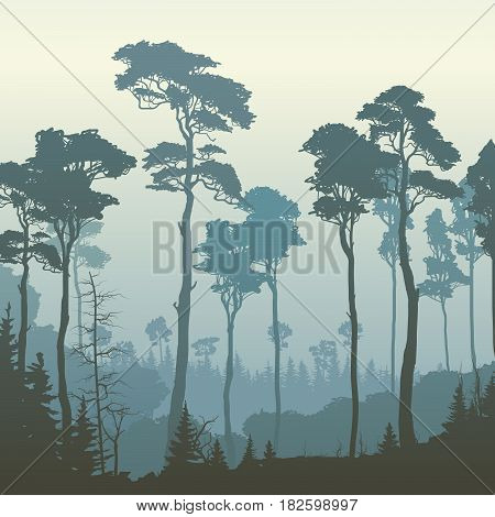 Square illustration of morning coniferous forest with tall pines (in blue tone).