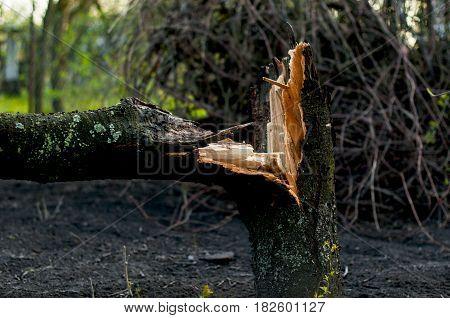 A broken tree in the garden close-up