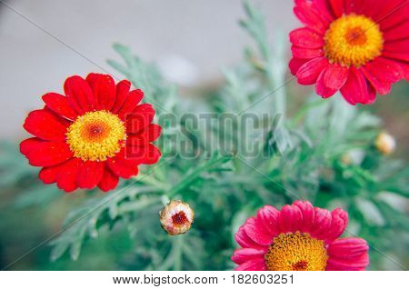 Gazania Garden Plant In Flower.pink And Red