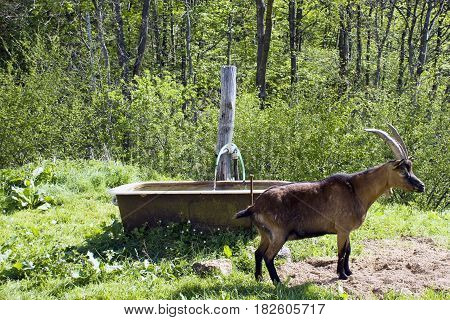 The goat approaches the aquarium, in the middle of the green meadow.
