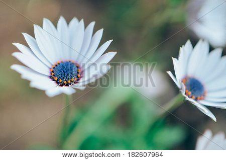 Gazania Garden Plant In Flower. White And Blue