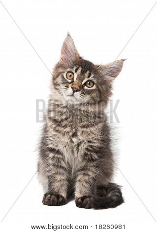 Small Fluffy Kitten