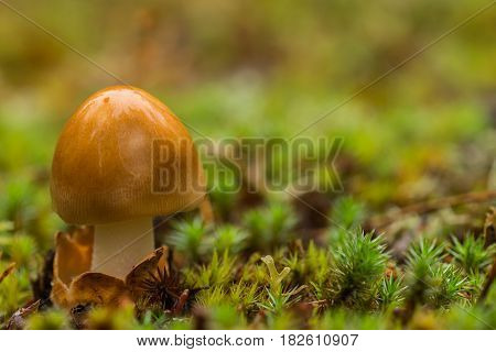 Small brown mushroom and moss in dew