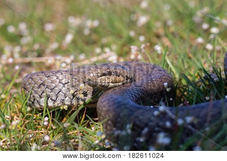 Smooth snake Coronella austriaca preparing to attack. Reptile curled rings