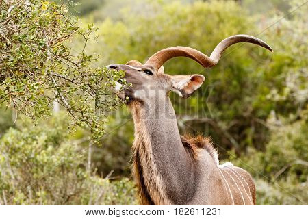Kudu Reaching For A Leaf To Eat
