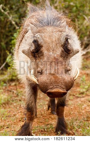 Warthog Standing And Looking Directly Into The Camera