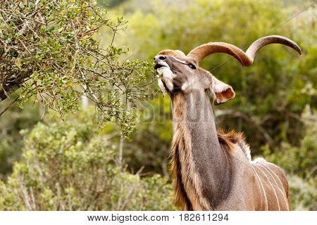 Kudu Stretching For A Leaf To Eat