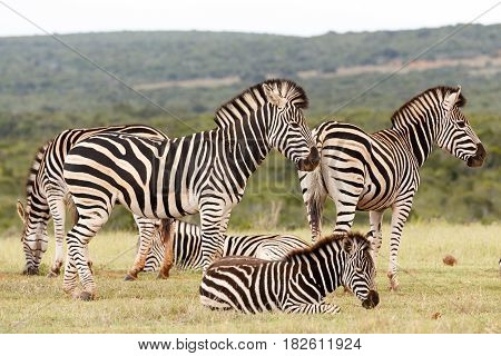 Zebras Waiting Together To Drink Some Water