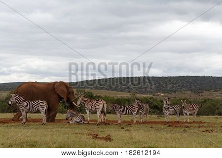 Zebras Waiting For The Elephant To Leave