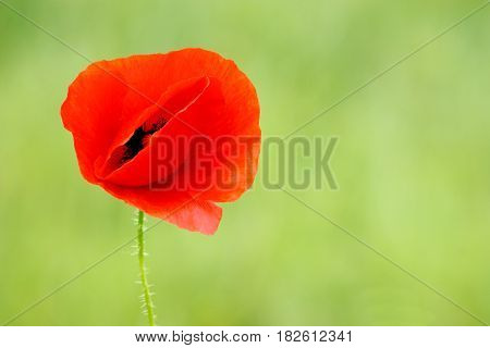 Poppy flower in front of green background