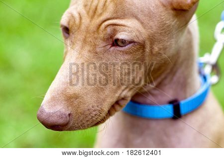 Cirneco dell'Etna, Sicilian Hound dog portrait close-up with blue collar