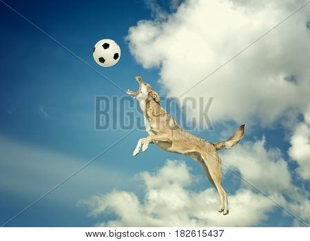 Sport dog catching a ball in midair